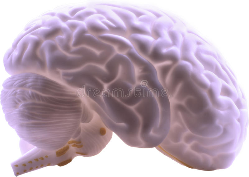 Human Brain. Side profile of the human brain showing lobes, stem, cerebellum on white. Isolated additional format attached as a PNG on a transparent layer stock image