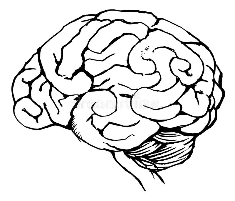 human brain stock illustration  image of cerebrum  diagram