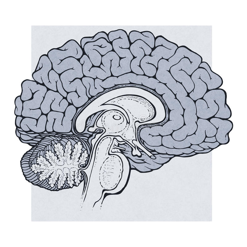 Human brain structures sagitall view royalty free illustration