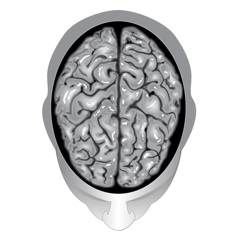 Human brain top view stock vector. Image of illustration ...