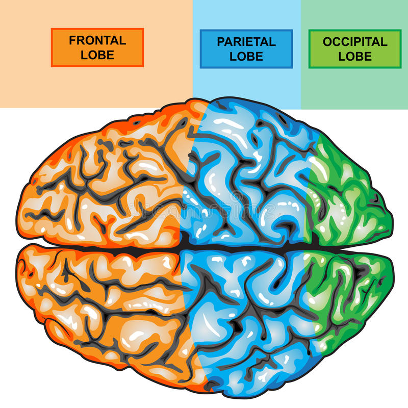 Human brain top view stock illustration. Illustration of ...