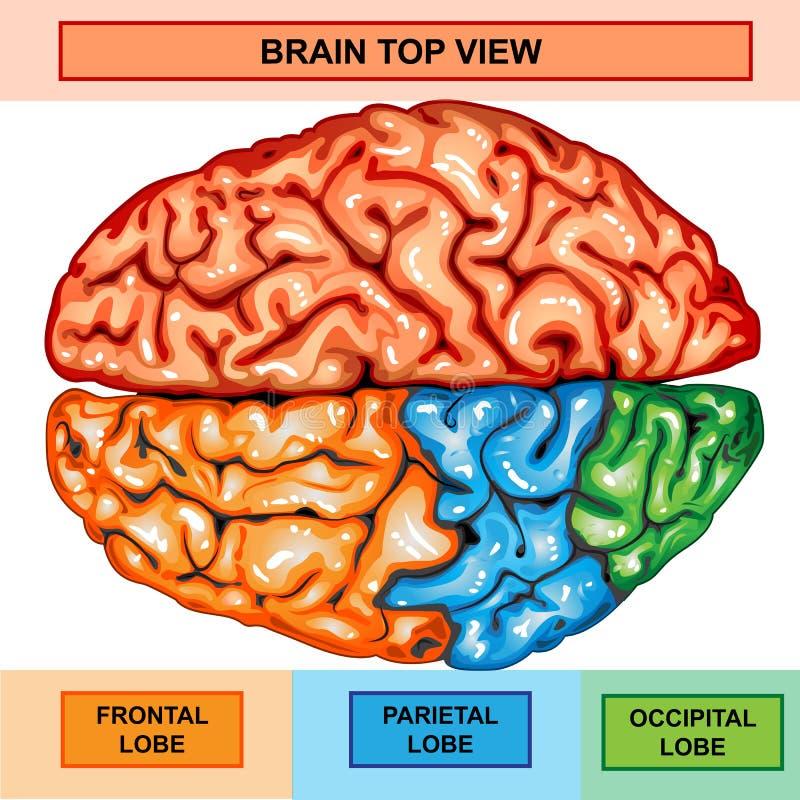 Human brain top view stock illustration