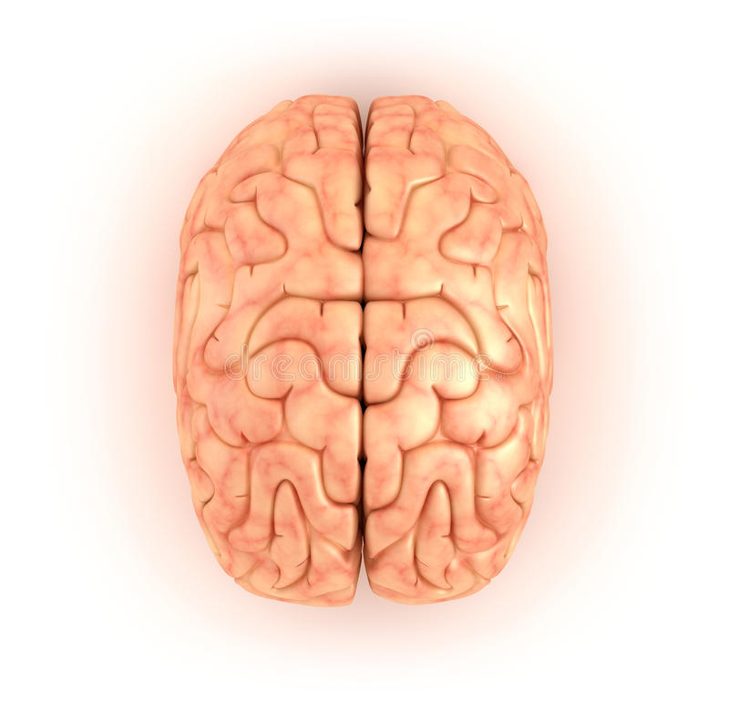 Human brain , top view. Over white royalty free illustration