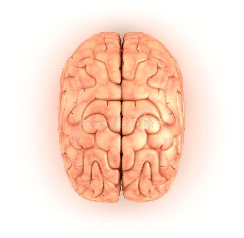 Human brain , top view stock illustration. Illustration of ...