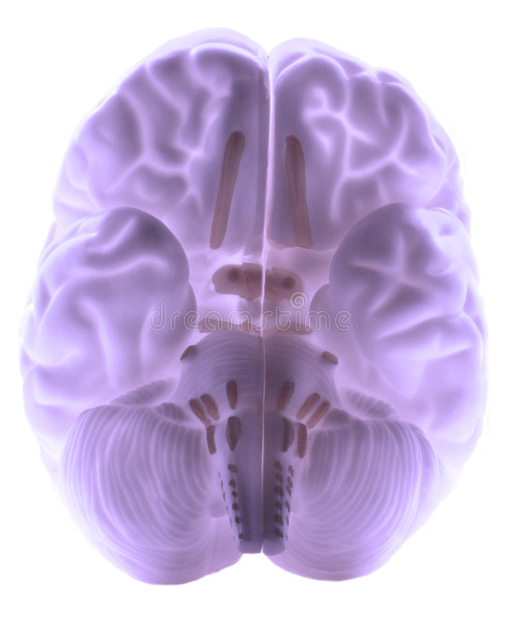 Human brain. Underneath of a human brain showing the stem, sub cortex and sub cortical structures. Additional format attached - PNG Isolated on a transparent royalty free stock photo