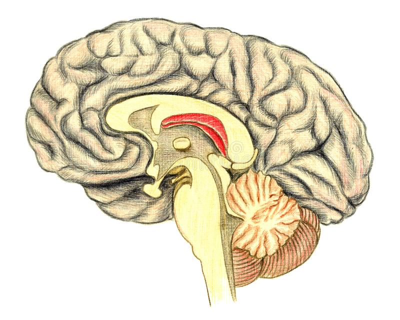 Human Brain Viewed Through A Mid Line Incision Showing The White