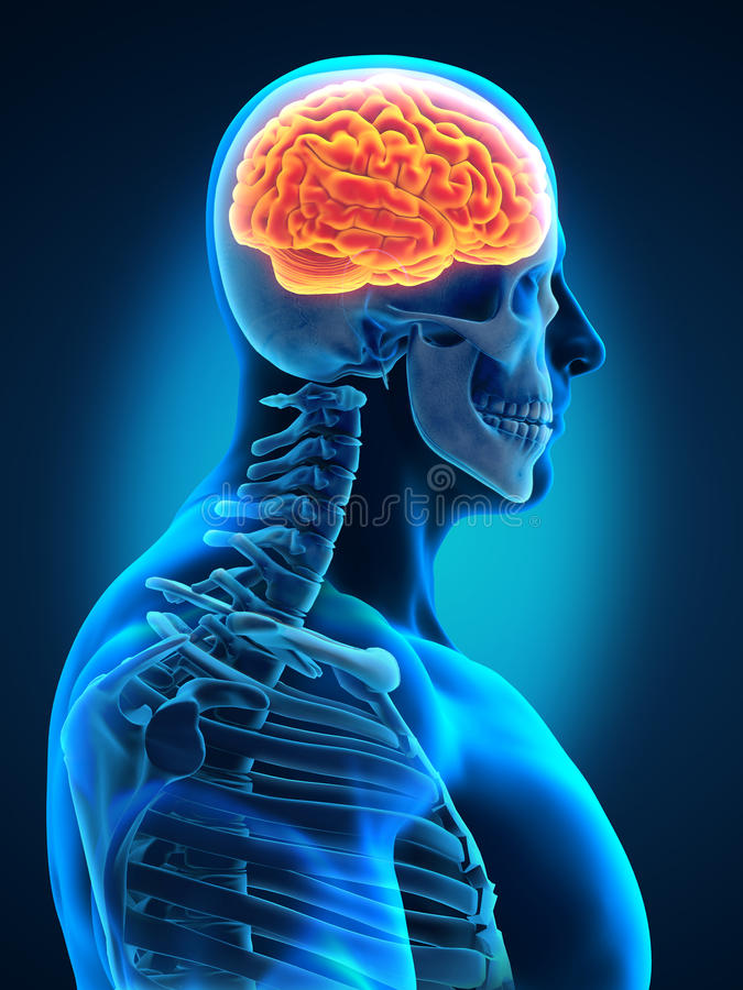 Human Brain with Visible Skull Lateral View stock illustration