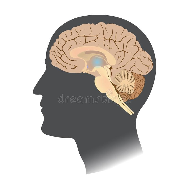 Human Brain white isolate. Anatomy body infographic. Illustration. vector illustration