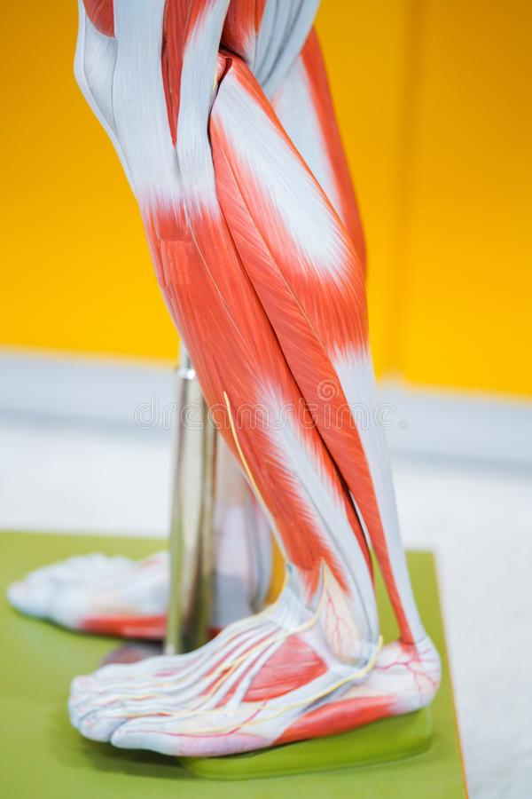 Human calf muscle anatomy. For the education stock photo