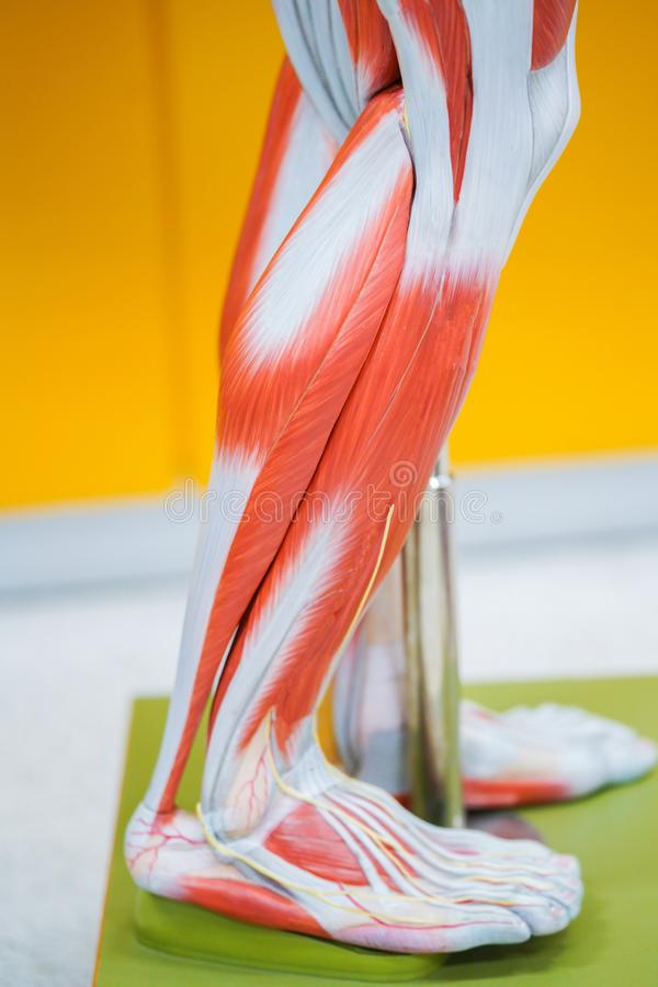 Human calf muscle anatomy. For the education royalty free stock photography