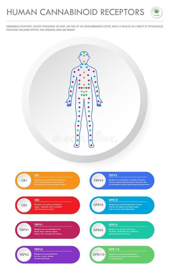 Human Cannabinoid Receptors vertical business infographic Complete. Human Cannabinoid Receptors - Endocannabinoid System vertical business infographic stock illustration