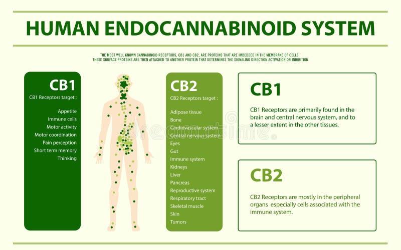 Human cannabinoid system horizontal infographic stock illustration