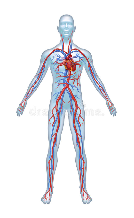Download Human Cardiovascular System Stock Illustration - Image: 22633058