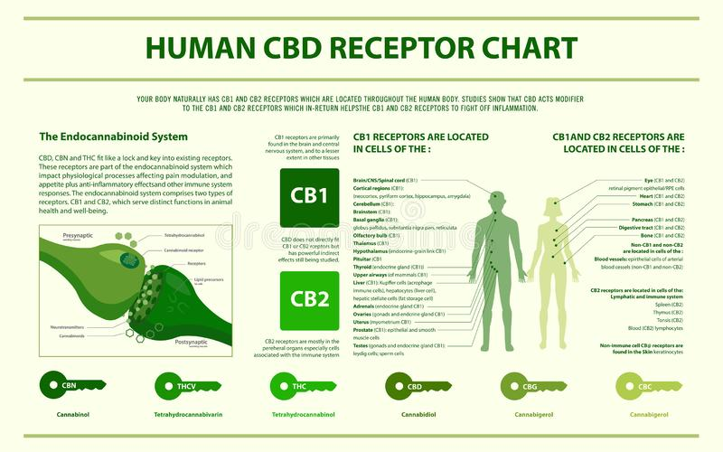 Human CBD receptor chart horizontal infographic. Healthcare and medical illustration about cannabis vector illustration