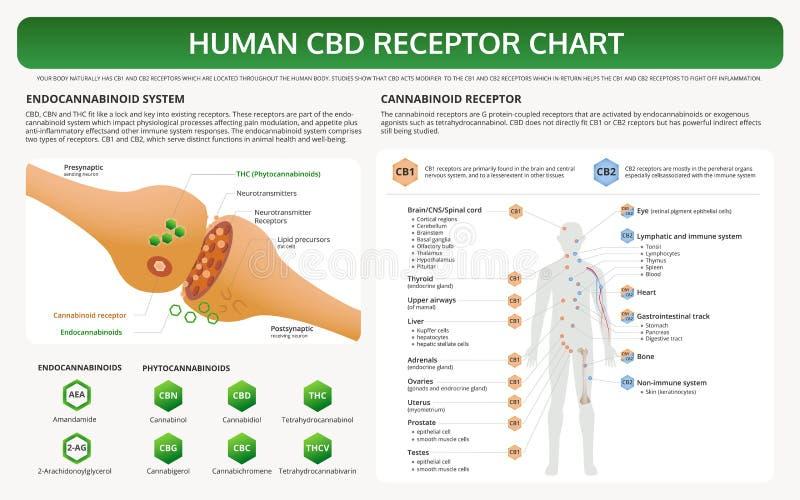Human CBD Receptor Chart horizontal textbook infographic vector illustration