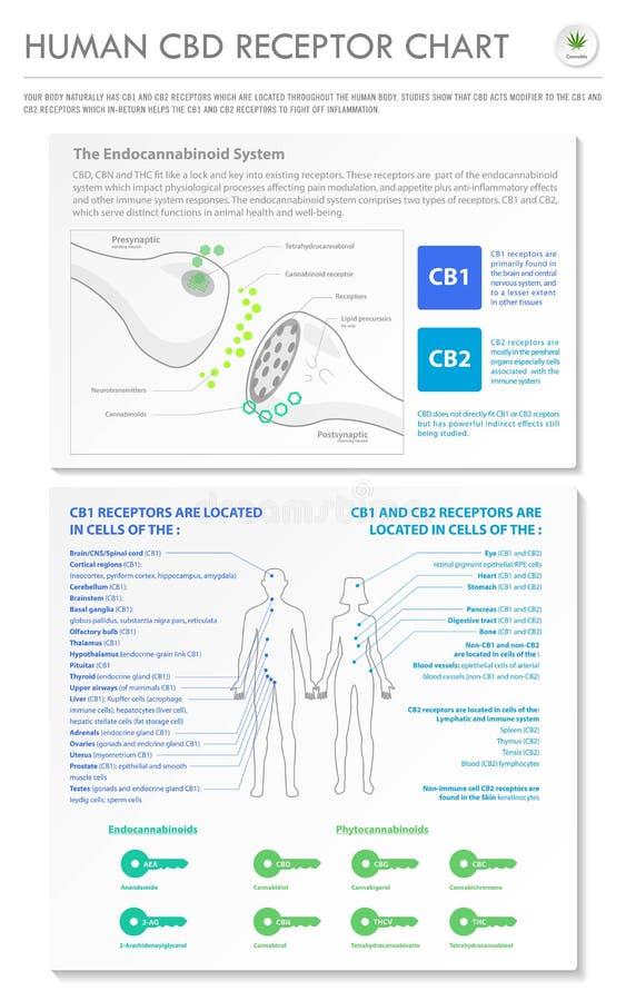 Human CBD Receptor chart vertical business infographic. Human CBD Receptor Chart - Endocannabinoid vertical business infographic illustration about cannabis as vector illustration