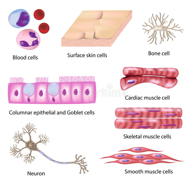 Human cell collection royalty free illustration