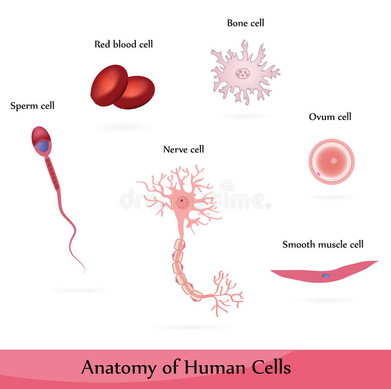 Human cells. Anatomy of muscle, sperm, ovum, nerve, blood and bone cells royalty free illustration