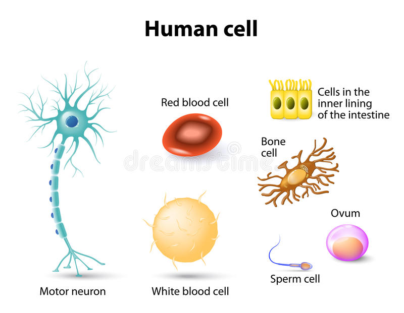Charmant Anatomy Of A Human Cell Ideen - Anatomie Ideen - finotti.info