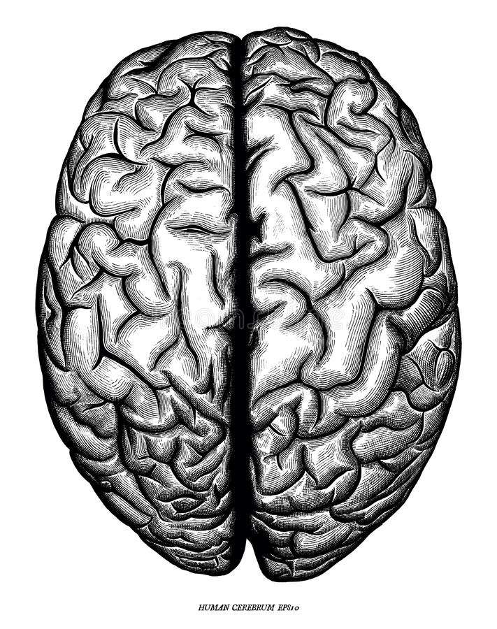 Human cerebrum top view hand draw engraving vintage clip art iso stock illustration