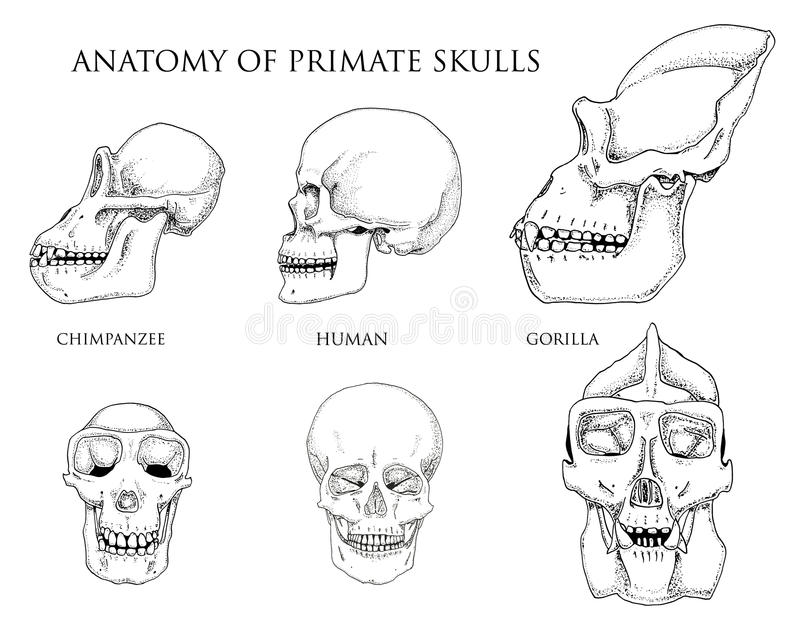 Human and chimpanzee, gorilla. biology and anatomy illustration. engraved hand drawn in old sketch and vintage style vector illustration