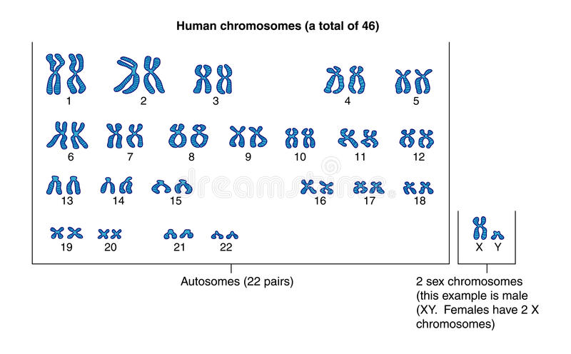 Human chromosomes stock illustration