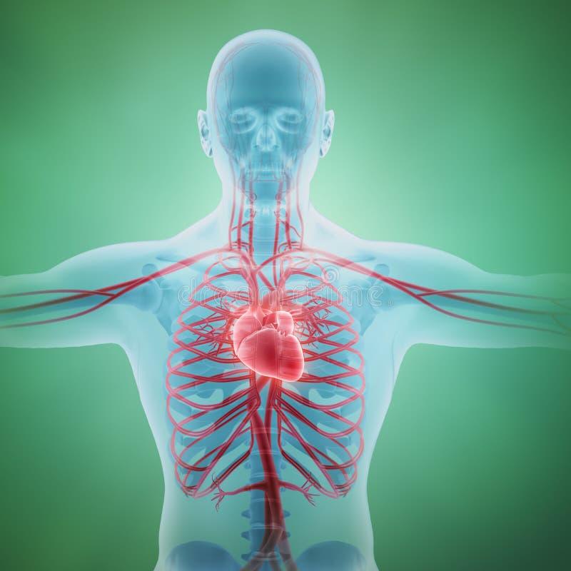 Human circulatory system. Medical illustration royalty free illustration