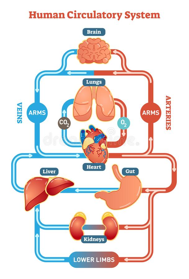 Human Circulatory System vector illustration diagram, blood vessels scheme stock illustration