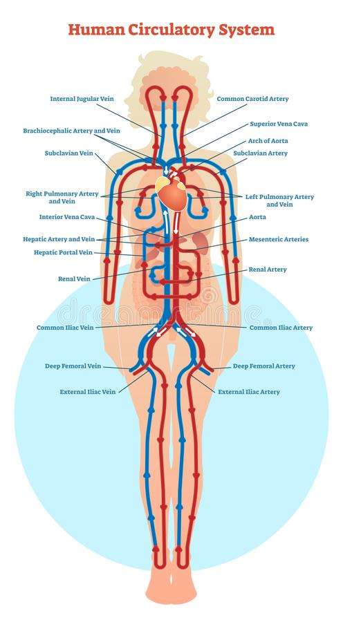 Human Circulatory System Vector Illustration Diagram Blood Vessels