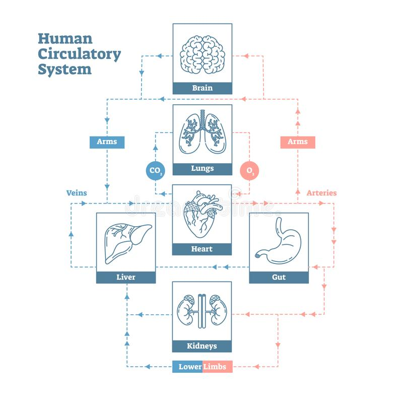 Human Circulatory System vector illustration diagram poster, blood vessels scheme. Clean outline style medical infographic. royalty free illustration