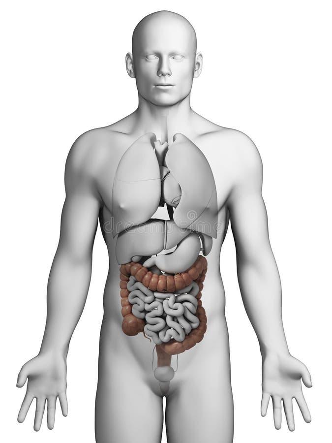 Human colon stock illustration