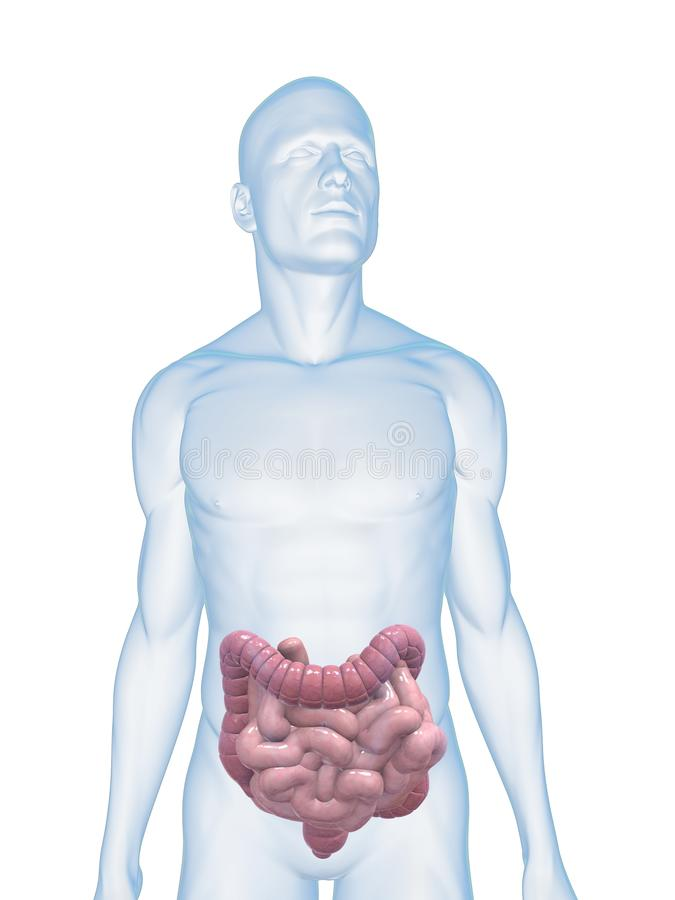 Human colon and intestines royalty free illustration