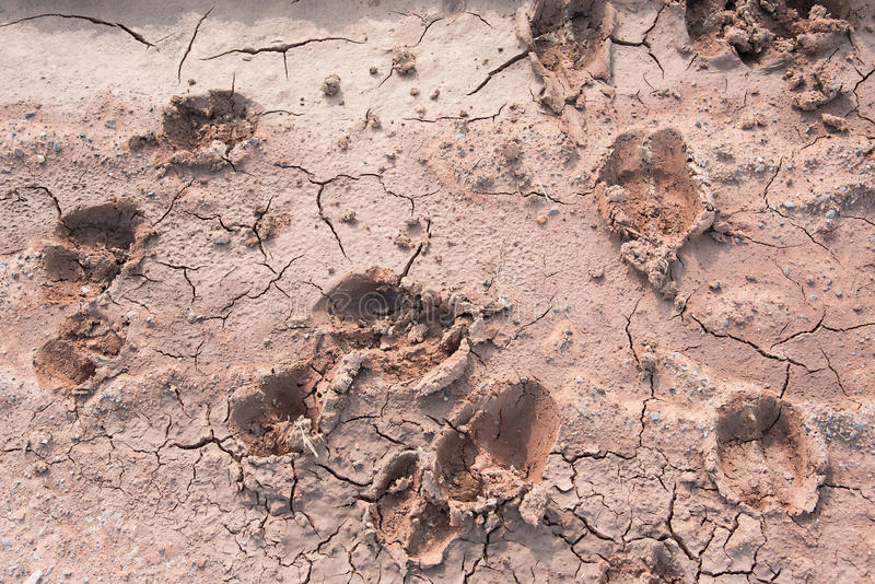 Human And Cow Footprints On Crackup Ground Stock Photo ...
