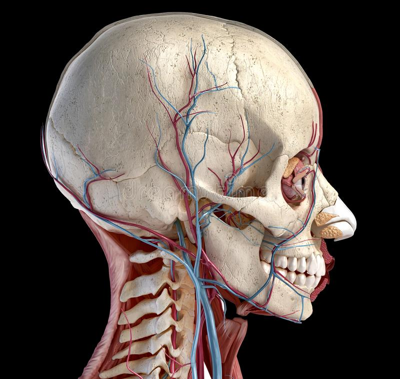 Human head with skull, muscles, eyes and blood vessels stock illustration