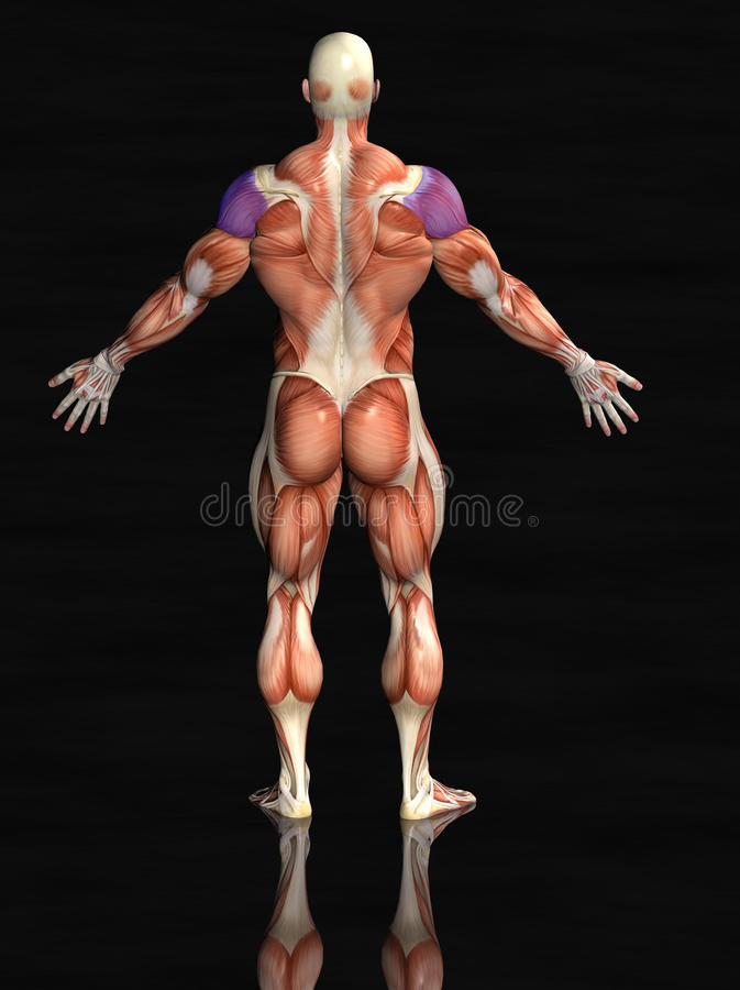 Human Deltoids Muscles Rear Stock Photography