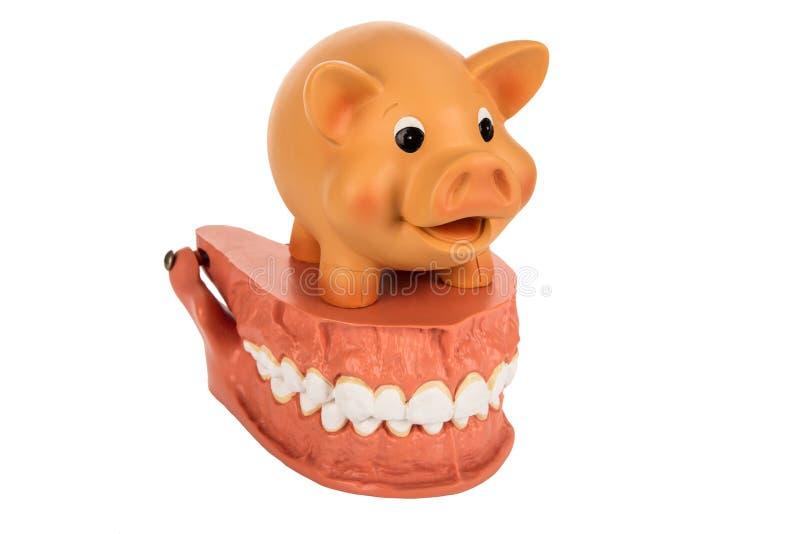 Human Dentures Model with Piggy Bank royalty free stock photos