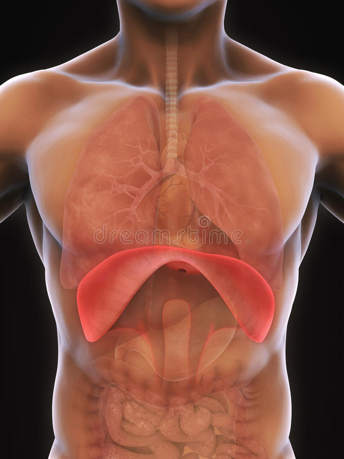 Human Diaphragm Anatomy stock illustration. Illustration of lumbalis ...