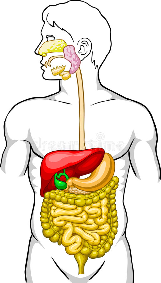 human digestive system stock vector illustration of colon 4230818 rh dreamstime com digestive tract clipart Nervous System Clip Art
