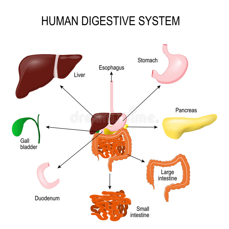 Human Digestive System stock vector. Illustration of appendix - 86724300