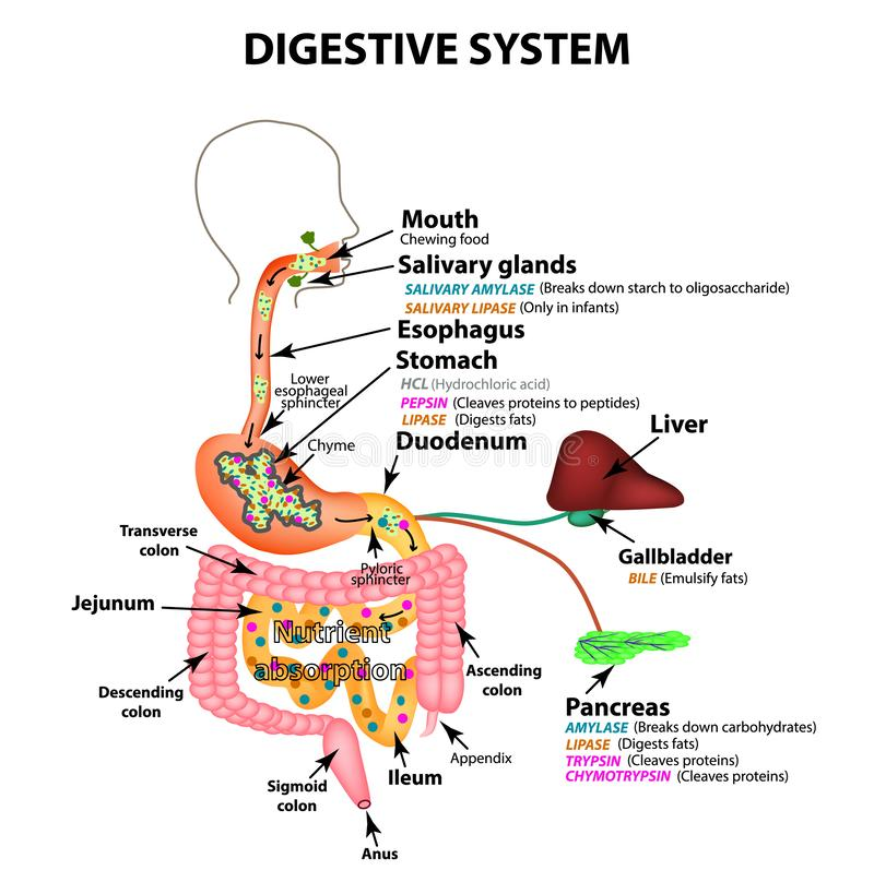 The human digestive system. Anatomical structure. Digestion of carbohydrates, fats and proteins. Enzymes of the royalty free illustration
