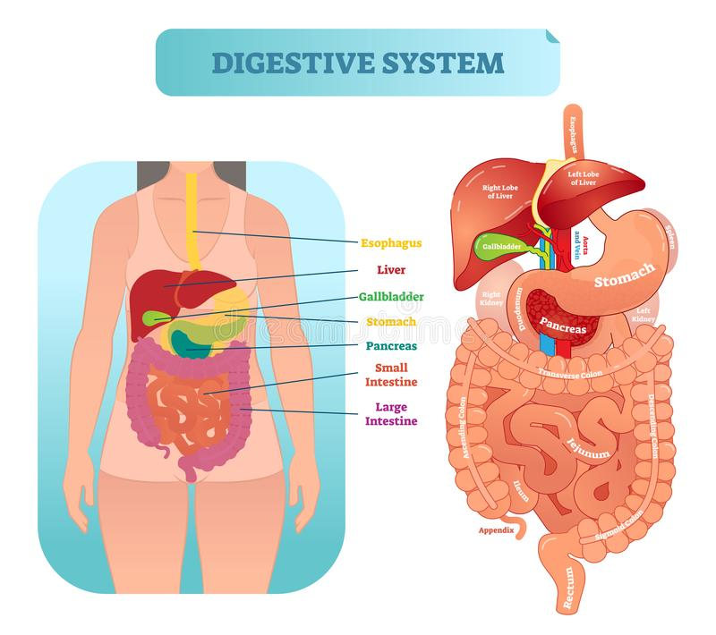 Human digestive system anatomical vector illustration diagram with inner organs. stock illustration