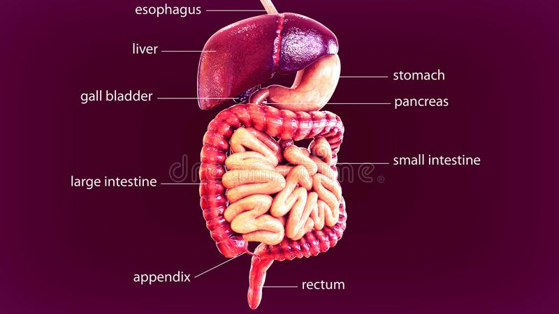 3d illustration of human body digestive system stock illustration