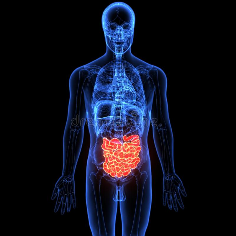 3d illustration of human body digestive system. The human digestive system consists of the gastrointestinal tract plus the accessory organs of digestion the stock illustration