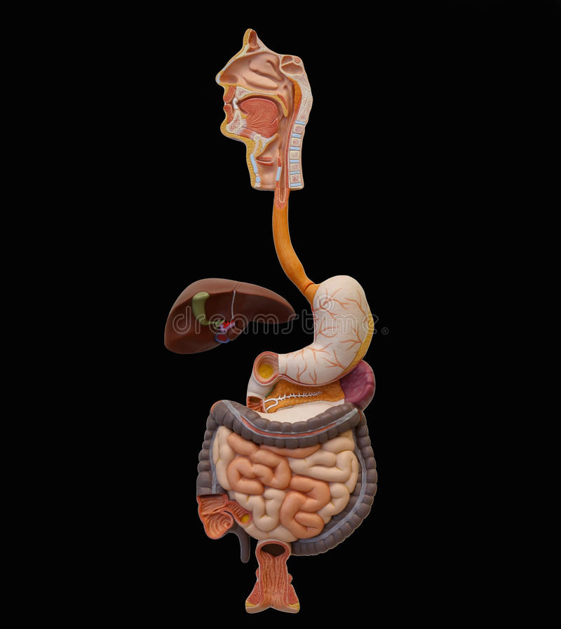 Human Digestive System (Extraction) stock images