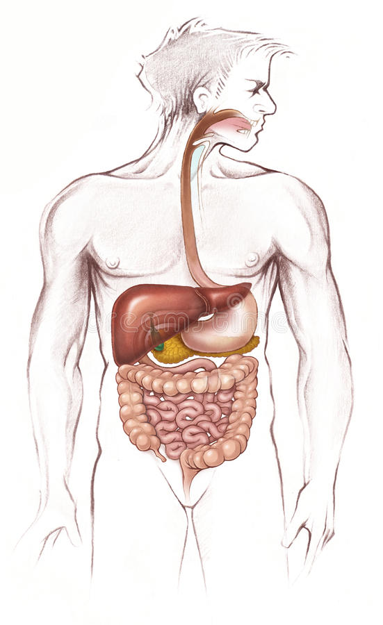 Human digestive system (full body). Simplified human digestive system (anatomical royalty free illustration