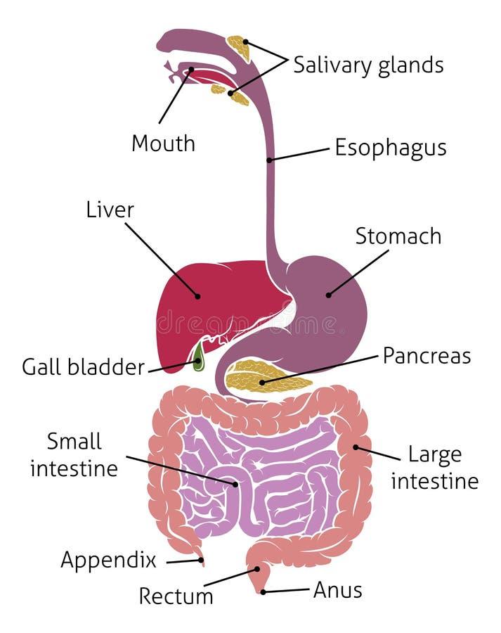 Human Digestive System Gut Gastrointestinal Tract. A human gut digestive system gastrointestinal anatomical tract diagram vector illustration