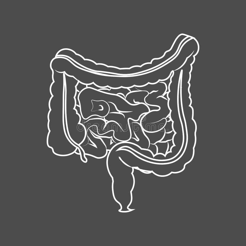 Human digestive system intestines gut anatomy gastrointestinal tract diagram. Monochrome contour of the intestine. 10 eps royalty free illustration