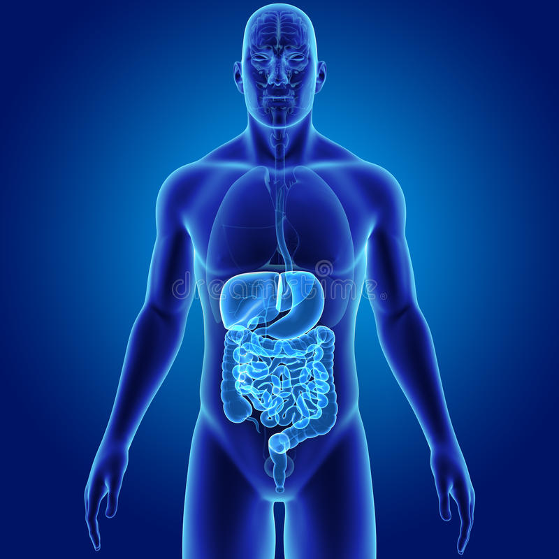 Human Digestive System With Organs Anterior View Stock Illustration