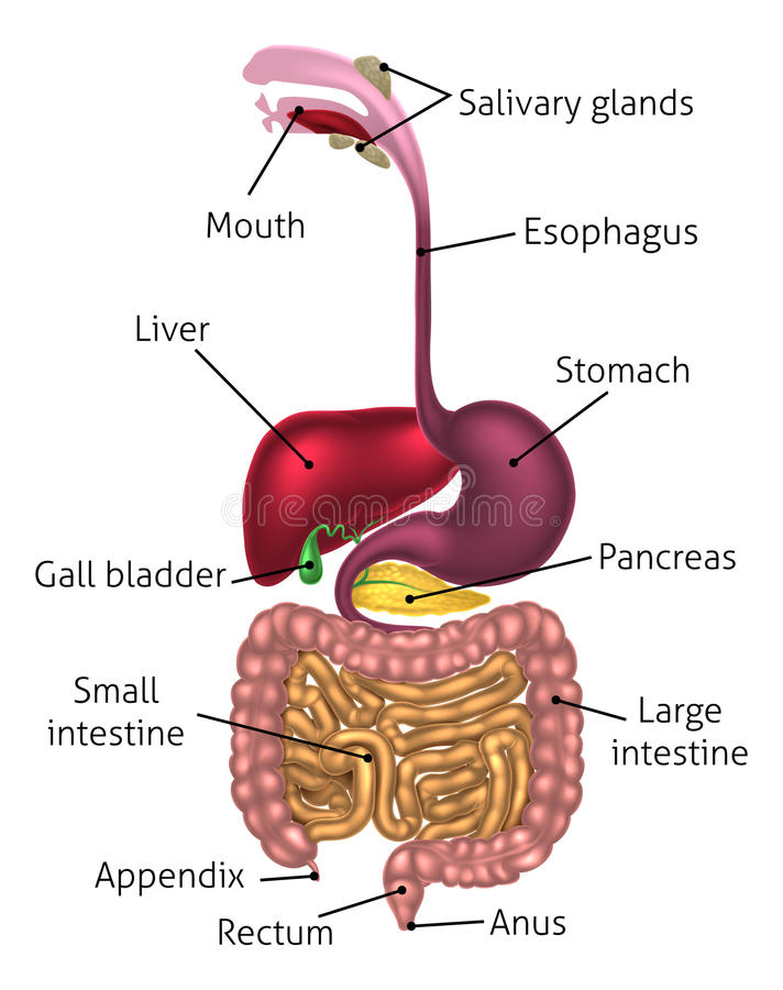 Human Digestive Tract System. Human digestive system, digestive tract or alimentary canal including labels with US spellings vector illustration