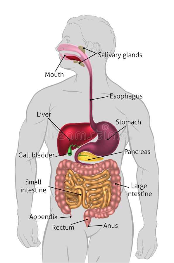 Human Digestive Tract. The human digestive system, digestive tract or alimentary canal with labels. Labelled with US spellings (i.e. Esophagus stock illustration